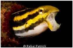 Fang Blenny by Rebai Patrick 